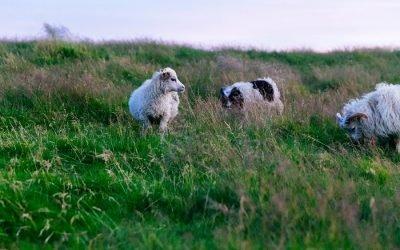 Sheepdogs, Sheep, and a Shepherd